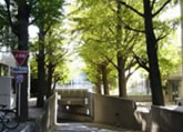 To Ishikawadai Area; through Gingko tree lined road.